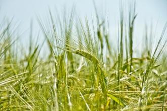 Zelený jačmeň ako zdroj vitality a zdravia